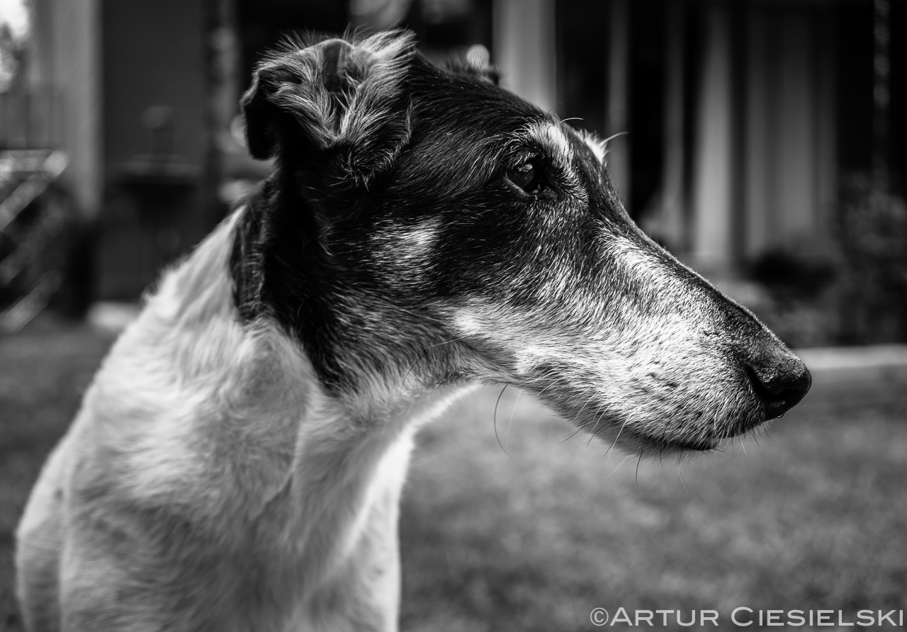 fox terrier in black and white